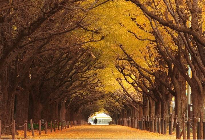 Gingko Tree Tunnel